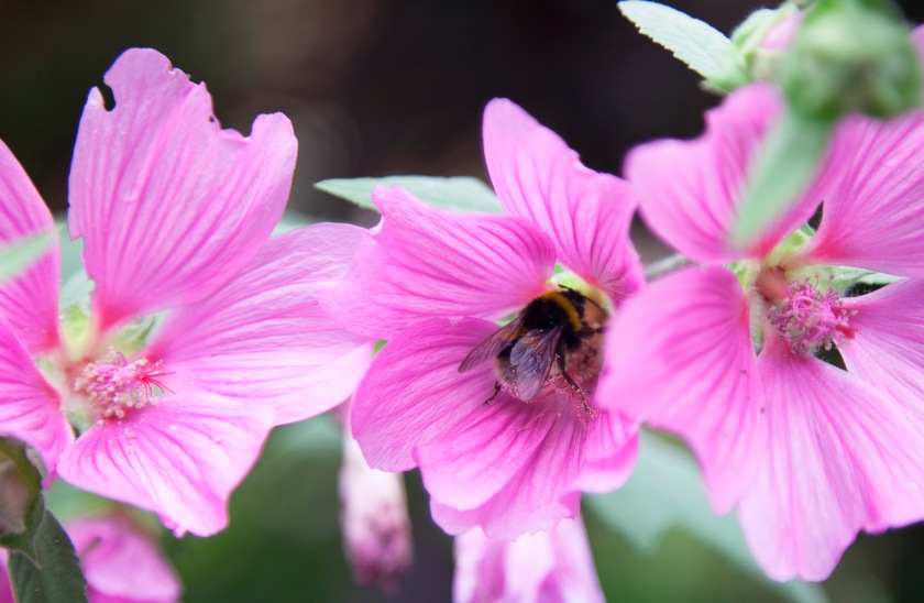pink-and-bee